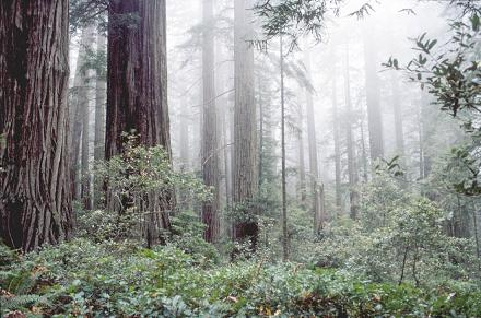Fog is critical to the health of some redwood and coastal forests. Photo: Coast Redwood & Ecology