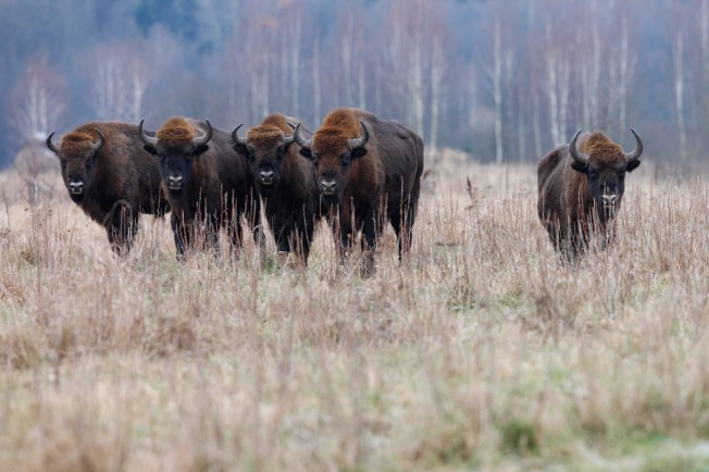 European bision (Bison bonasus), also known as wisent Photo: Zimbrii/Rewilding Europe