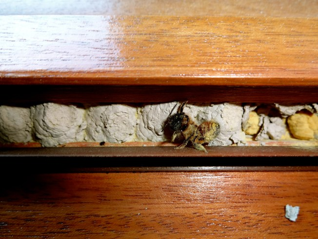 A dazed carpenter bee, covered in pollen, in the nest it was building in my office windowsill.