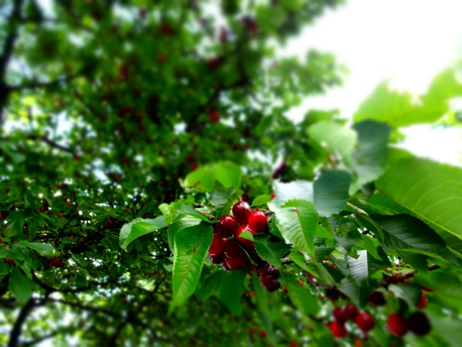 The view from beneath a cherry tree.