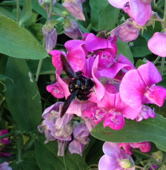 I found this big carpenter bee on some sweet peas outside. It was very photo shy, flying off whenever I aimed my camera, returning when I looked away.