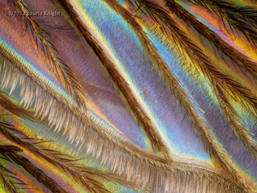 A mosquito wing. I don't care how pretty it might be, or how graceful the lazy bobbing flight of the insect might be, I still don't like them.  Photo: Laurie Knight