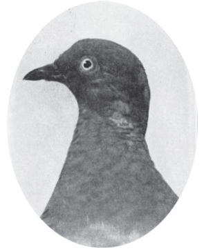 Martha, the world's last passenger pigeon.  Photo: Scientific American