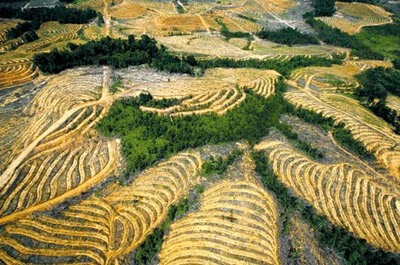 Palm oil plantation, Indonesia Photo: Cempaka/Reuters