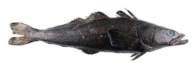 Patagonian toothfish Source: National Marine Fisheries Service
