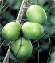 Irvingia gabonensis, the African mango, an edible fruit with nutritious nuts at their core. Source: Herbwisdon