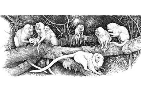 Golden Lion tamarins Artist: Sally Landry