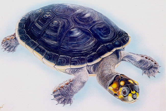 Yellow-Spotted Amazon River Turtle Artist: Brin Edwards