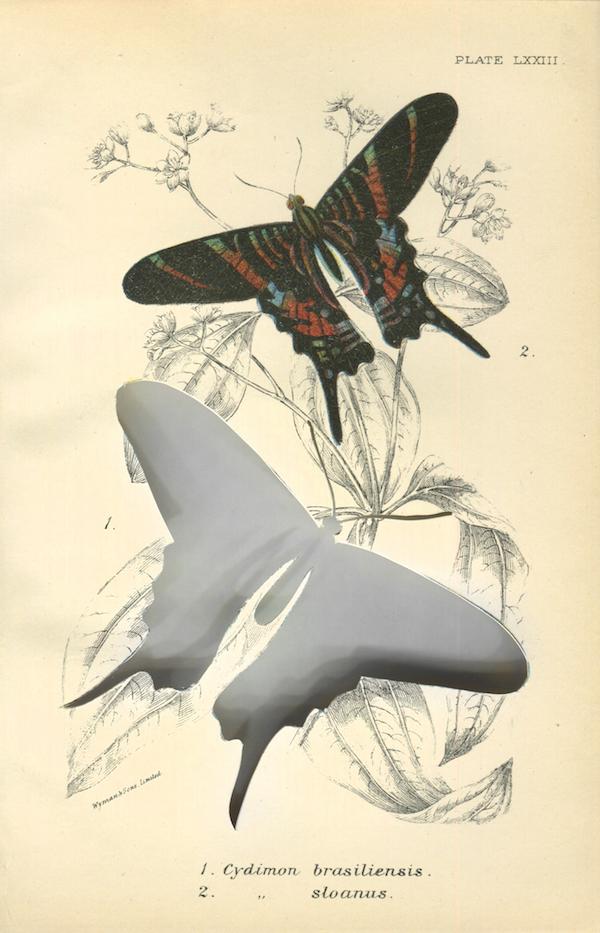 RIP Sloane's Urania Butterfly: After W.F. Kirby (1897/ 2014) Frameworks of Absence Artist: Brandon Ballengée