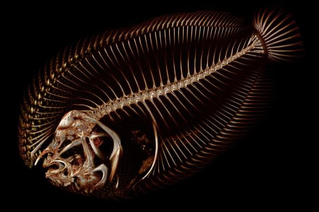 3D scan of Hogchoker (Trianectes maculatus). Source: Kevin Conway & Adam P. Summers/OSF