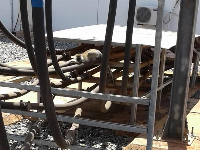 A wild vervet monkey tripped a transformer after falling off a roof at Gitaru Hydroelectric Power Station in Kenya's Eastern Province, knocking out power across the entire country. The monkey survived. Source: Kengen/Independent