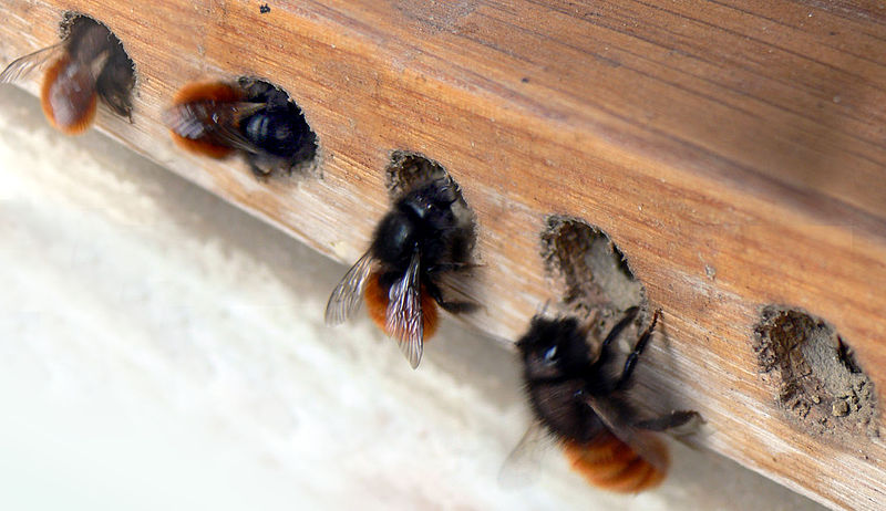 bees, conservation, orchard bees, burrowing