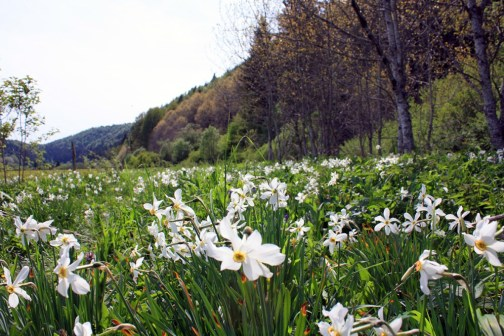 Native flowers of the Jura mountains, France