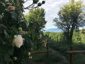 Roses, pathway, mountains, after the rain