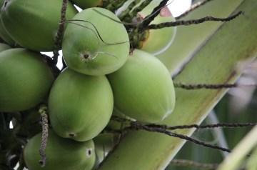 Coconut Surprise
