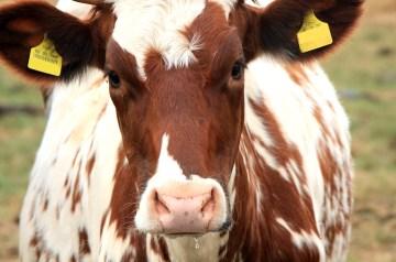 Brown Cow Milk Shake