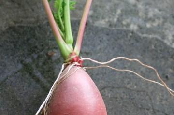 Radish and Pink Grapefruit Salad