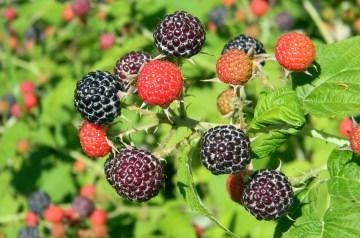 Raspberry Bavarian