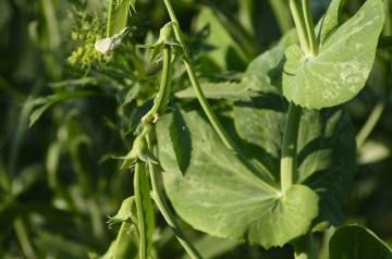 Italian Peas