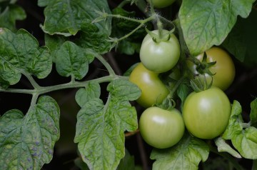 Traditional  Fried Green Tomatoes