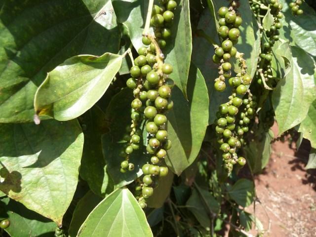 Poivres asiatiques: poivre vert de Kampot