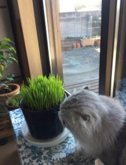 猫草を食べる綿丸