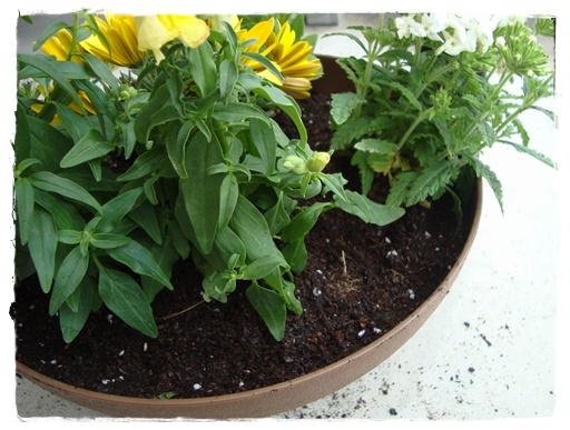 バーベナ、ペチュニアは鉢の縁に沿わせて植え付けます。