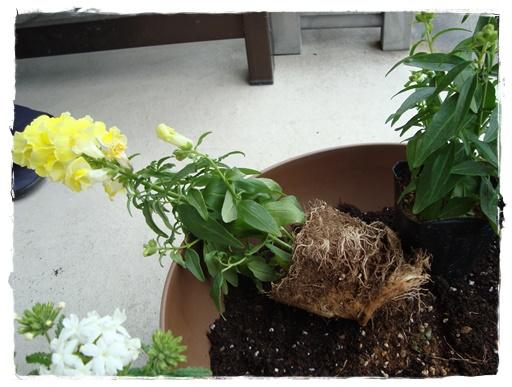 根が張っているときくずして植え付けます。