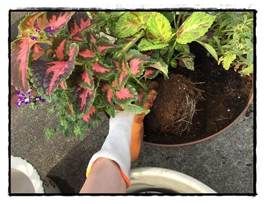 空いた部分にコリウスを植え付けます。