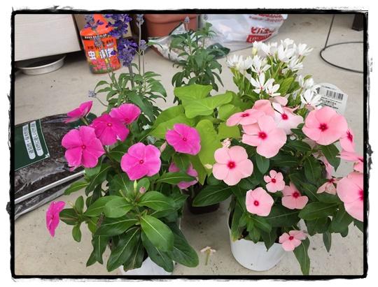 夏の寄せ植え、ニチニチソウをメインに秋まで咲かせましょ!