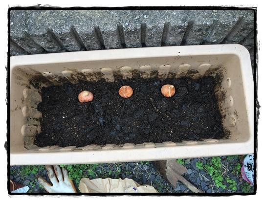 球根が十分隠れるくらい土を入れる