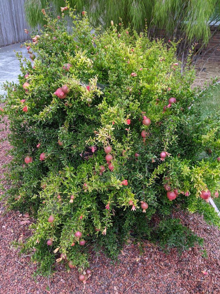 pomegranate santa rosa