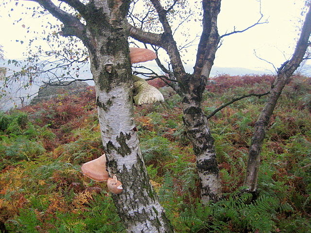 birch tree with fungi