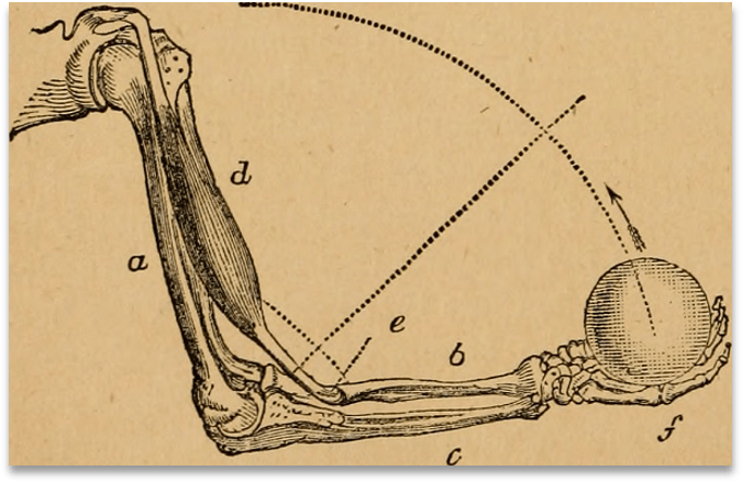 A drawn diagram of a human arm showing bones, muscles, and tendons with the hand holding a ball.