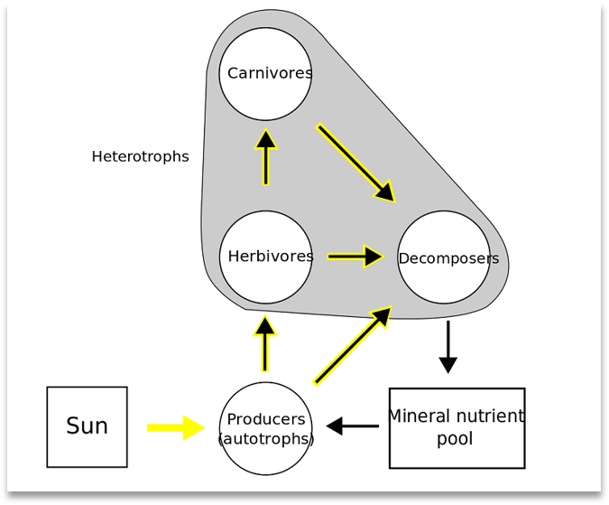 A simple food web with the Sun and mineral nutrients feeding autotrophs (i.e., plants) and heterotrophs including interacting Carnivores, Herbivores, and decomposers leading to the regeneration of the Mineral Nutrient pool.