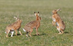 Brown hare Lepus europaeus, Wiltshire, England, March