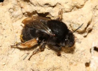 anthophora-plumipes_2no