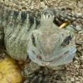 Dragon Lizard, Lone Pine Sanctuary.