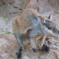 Rock wallaby, MacDonnell Ranges.