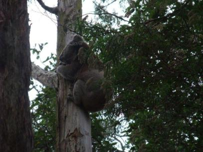 koala Middle Creek Road Budgeree melbourne foe