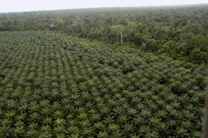 oil-palm-plantation-vl