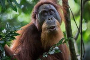 Sumatran Orangutan Credit Zac Mills (640x427)