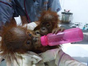 traders babies at socp