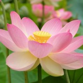 On the occasion of Vesak Day 2562: A FLOWER LOOKS LIKE LOTUS BUT… (Hoa quỳ giống hoa sen nhưng…)