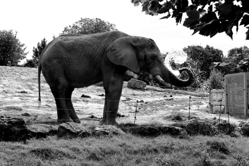 Elephant at ZooParc Du Beauval