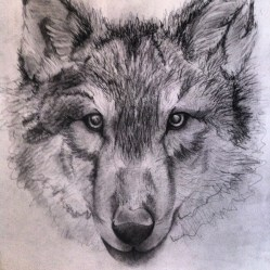 Pencil sketch of wolf.