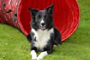 Agility - Honden Training