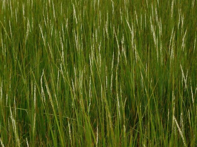 Chincoteague Island 青口提个岛 小麦灌浆