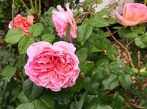 门前花坛的玫瑰;2018.5.22