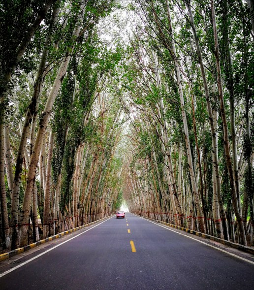 白杨树林荫大道